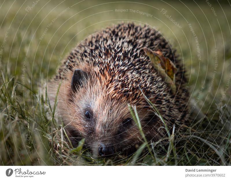A wild hedgehog sits in the grass Hedgehog hedgehog heads Baby hedgehog Grass Nature Animal Animal portrait animals Cute cute animals Moody pretty Wild animal