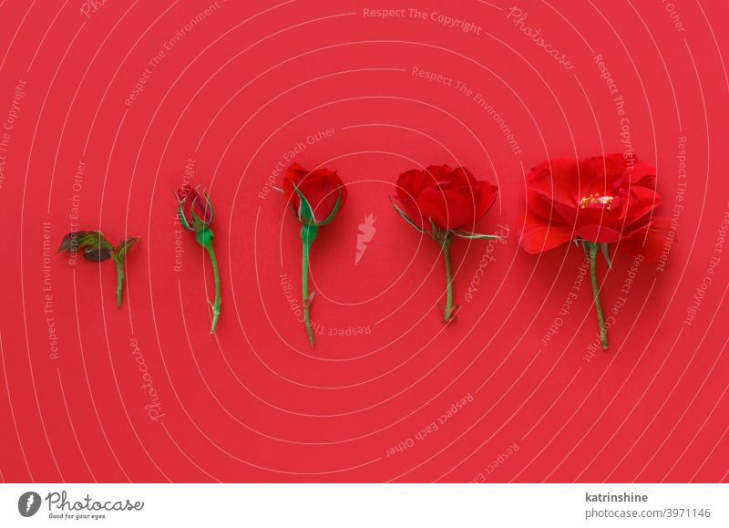 Five Red Roses on a red background flower romantic 5 five rose bright monochrome minimal top view copy space concept creative day decor decoration design floral