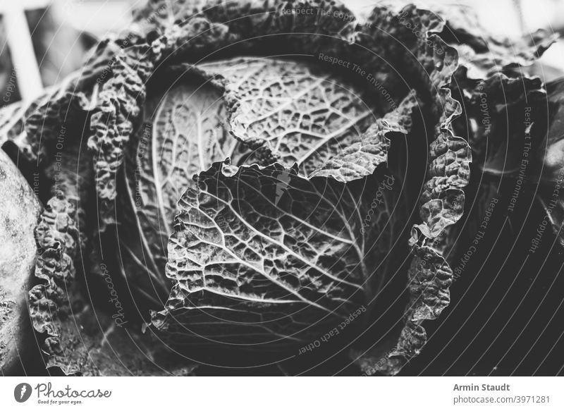 vintage black and white shot of a savoy cabbage vegetables closeup monochrome fresh plant natural food vegetarian leaf salad organic background nature raw
