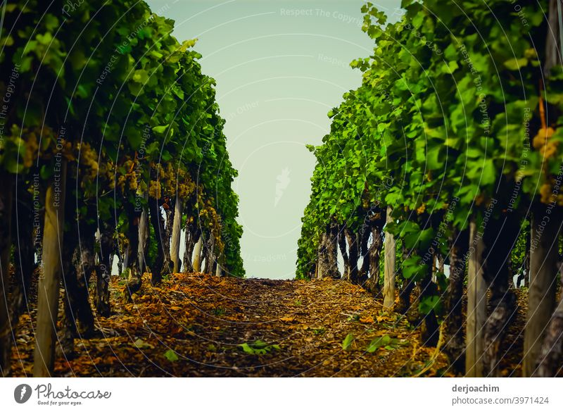 The path between the vines upwards, towards the sky. Exterior shot Landscape Colour photo Nature Deserted Environment Vineyard Summer Day Green Plant