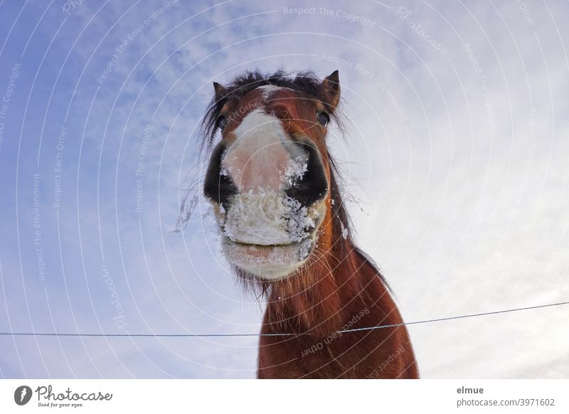 Portrait of a brown horse with white blaze and snow on the mouth from frog perspective in front of blue sky Horse Bay (horse) pale Muzzle Worm's-eye view