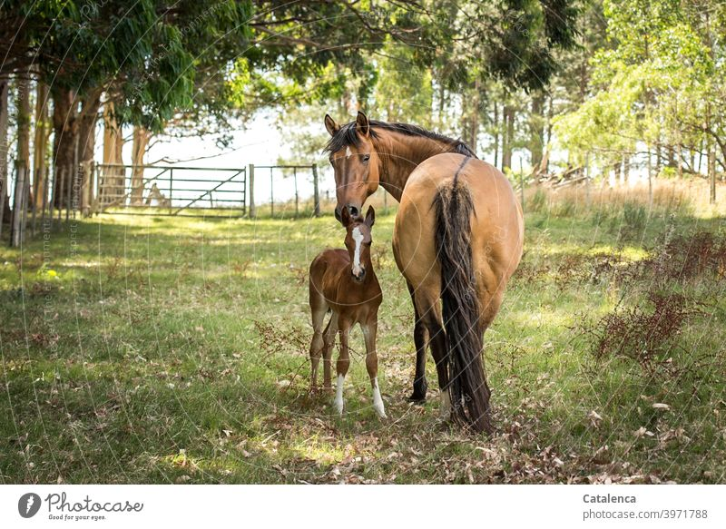 Horse mother and daughter look into the camera on a beautiful summer day Nature flora fauna Landscape Tiet Farm animal mare Foal Stand Grass Meadow trees