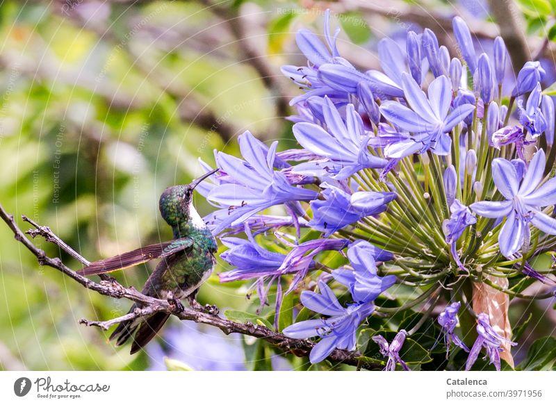 A comfortable hummingbird drinks the nectar of an agapanthus flower Nature flora fauna Bird Drinking Nectar Blossom Sit Branch Day daylight Summer Flower purple
