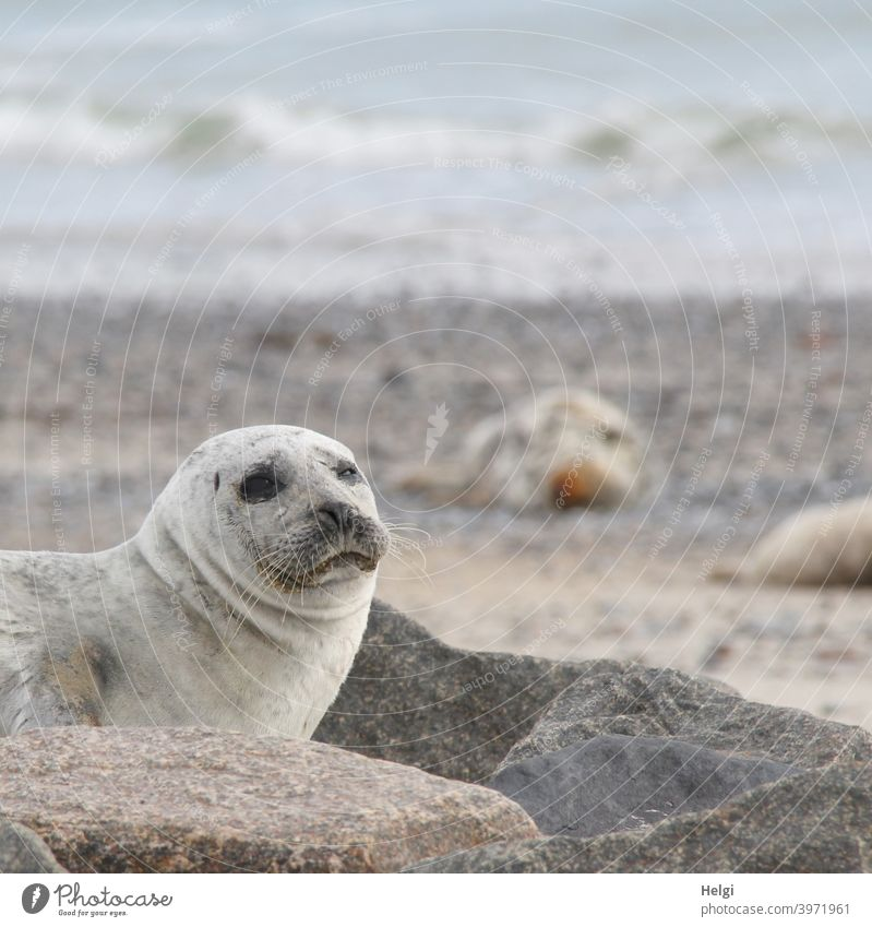 Seal on the dune of Helgoland Harbour seal Animal Mammal Wild animal duene Heligoland Dune Beach Ocean North Sea North Sea Islands Looking look Cute Environment