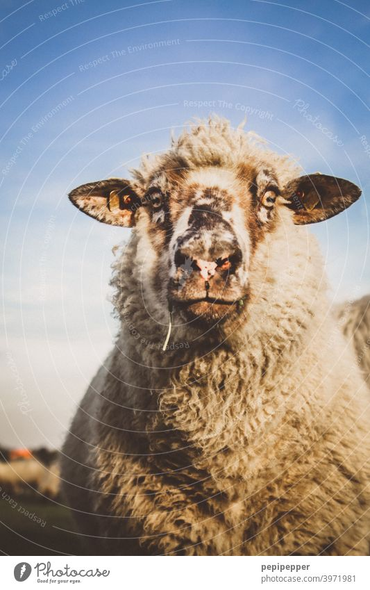 sheep Sheep Animal Farm animal domestic Exterior shot Wool Meadow Willow tree Animal portrait Grass Pelt Deserted Flock Group of animals Herd Lamb's wool