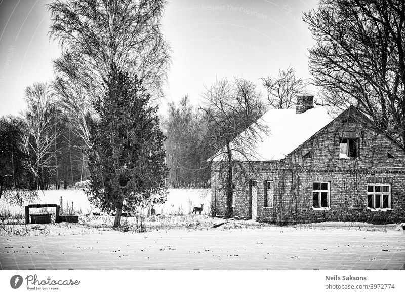 not totally abandoned real estate with nice old brick house, vintage well and two cute inhabitants / two deers in left countryside property yard looking for food in January in Latvia / place to start a new life
