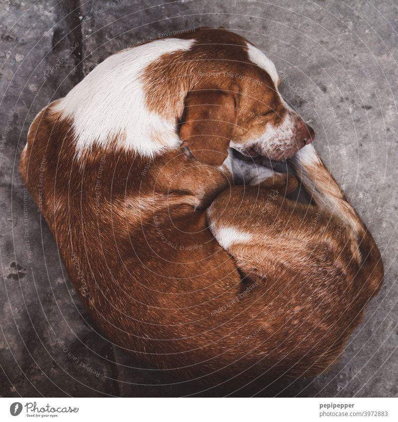 "sleeping dog Dog Sleep asleep Bedtime portrait Resting Dream Animal Animal portrait Animal face animals Cute Soft Convoluted Face Animal Portrait"" Stationary"