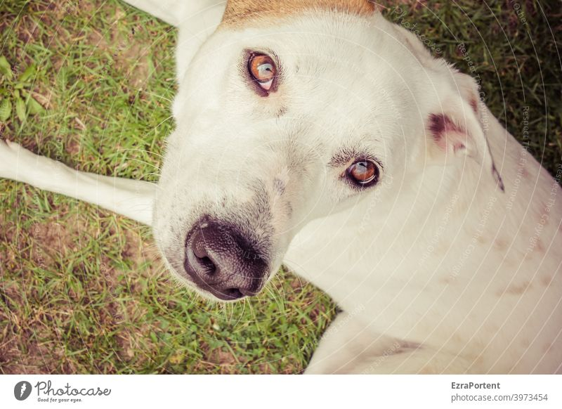 dog Dog Pet Animal Animal portrait Looking Animal face Looking into the camera Pelt Close-up Cute Eyes Nose Ear Snout White Brown reflection