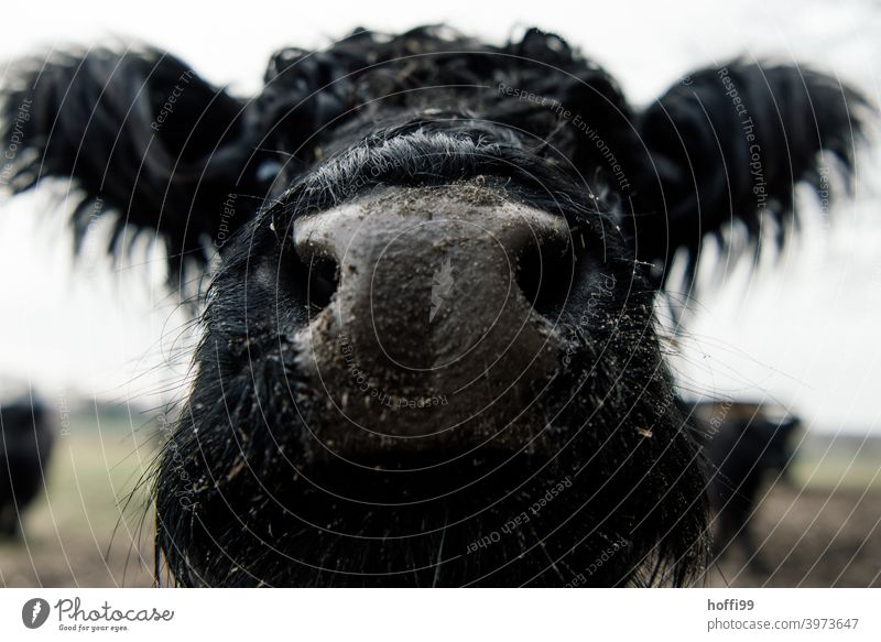 close to the Galloway Galloways Cattle Nose Mouth Snout Cow Saliva Dark drool Eyes To feed Generator Organic produce Grass Mammal Milk Biological Cattleherd