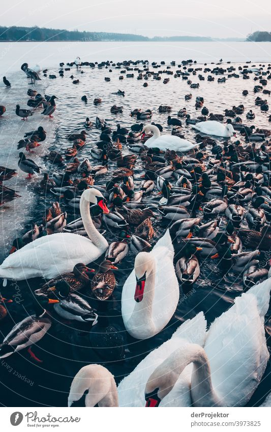 Swans and ducks in the winter lake in Neuruppin III Brandenburg Nature Environment Experiencing nature Exterior shot To go for a walk Copy Space right