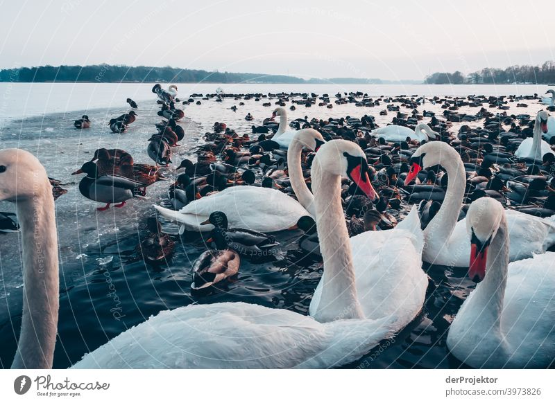 Swans and ducks in the wintry lake in Neuruppin II Brandenburg Nature Environment Experiencing nature Exterior shot To go for a walk Copy Space right