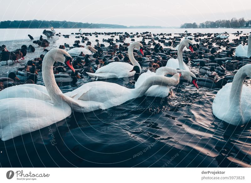 Swans and ducks in the wintry lake in Neuruppin Brandenburg Nature Environment Experiencing nature Exterior shot To go for a walk Copy Space right