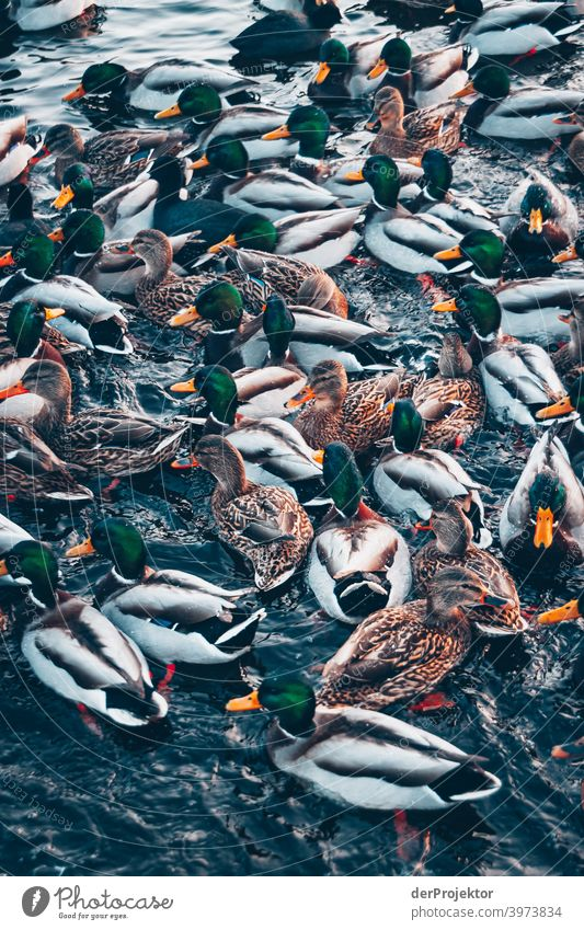 Ducks in the wintry lake in Neuruppin Brandenburg Nature Environment Experiencing nature Exterior shot To go for a walk Copy Space right Copy Space bottom