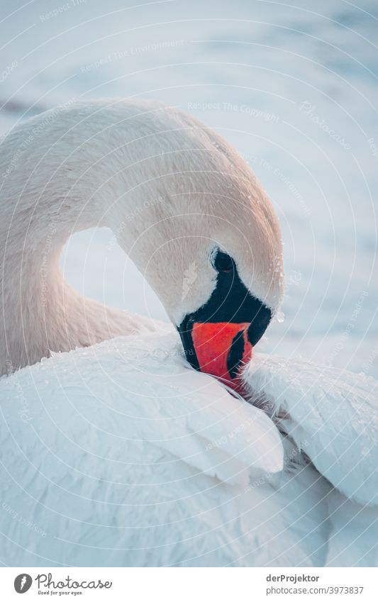Swan in the wintry lake in Neuruppin Brandenburg Nature Environment Experiencing nature Exterior shot To go for a walk Copy Space right Copy Space bottom