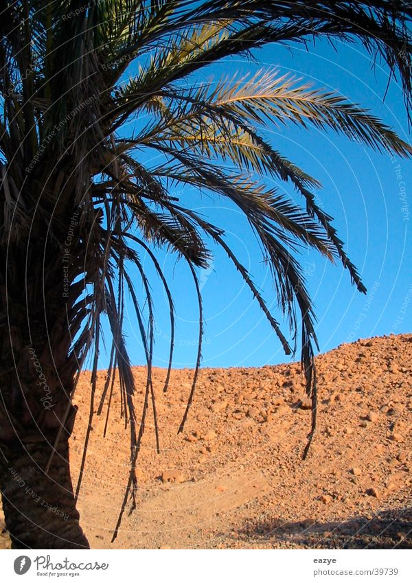 Plant Vacation & Travel Mountain Desert Palm tree Egypt