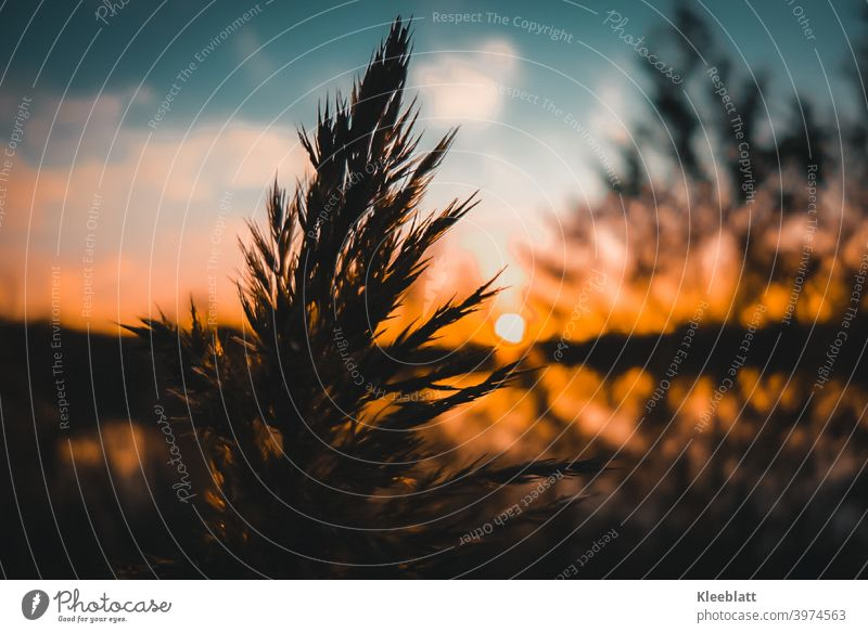 The setting sun creates an orange-red fire magic - in the foreground a flowering reed grass as silhouette Setting sun, Magnificent play of colours Sunset