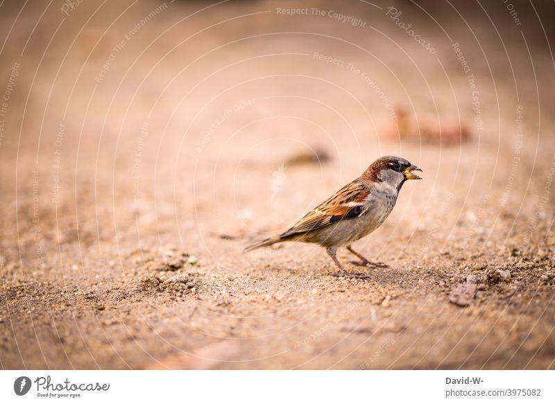 Sparrow / Bird chirping tweet Animal Brown Cute Small Nature songbird