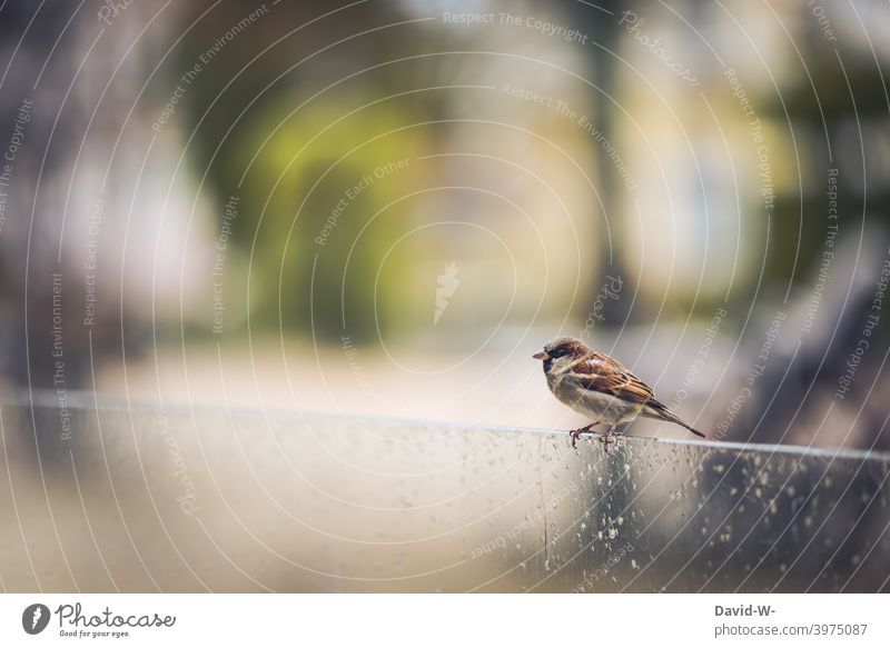 Sparrow / House Sparrow in rainy weather Rain Bird Cute Weather Bad weather Crouch