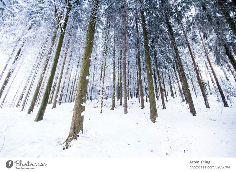 Winter coniferous forest Forest Winter forest Coniferous forest Snow tree trunks Wide angle bark lines winter landscape Coniferous trees Tree White Brown Many