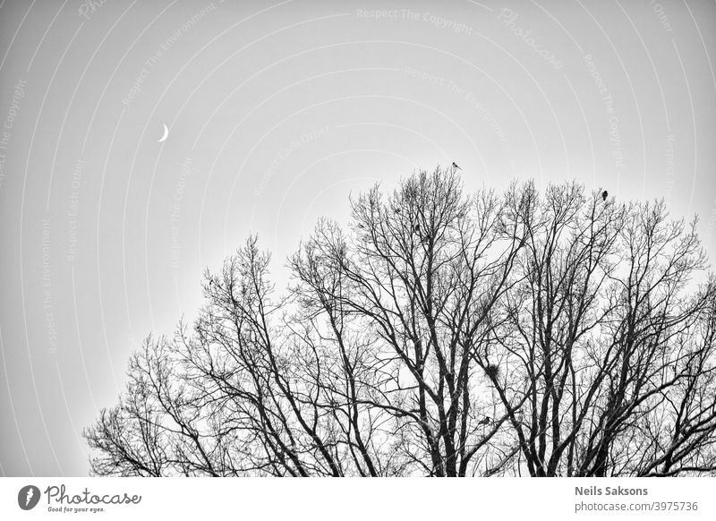 Crows and magpie on the top sitting on big oak`s branches. Birds sit on a leafless branch against the evening blue sky with the moon. Silhouette of dry tree branches with birds and the moon. Winter season, night landscape, wallpaper, copy space