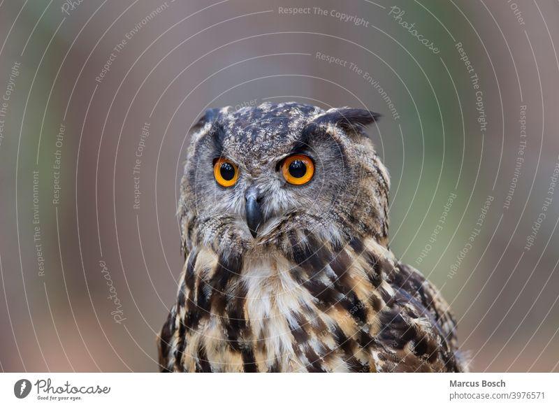 Uhu, Bubo bubo,  Eurasian Eagle Owl Eulen Eurasian Eagle-Owl Eye Greifvoegel Kopf Portrait Voegel Wald augen blick blicken bubo bubo ears eyes feather ears