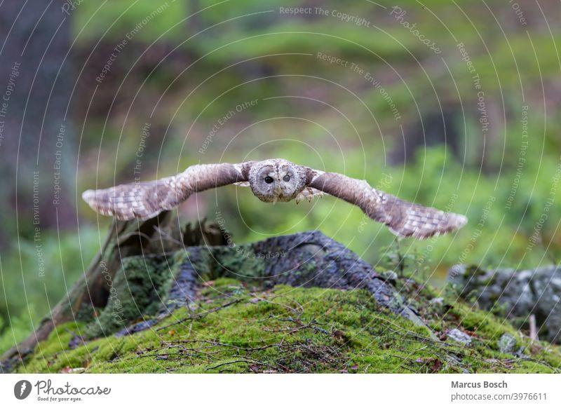 Tawny owl, Strix aluco Owl Bird flight Moss Forest Wood Owl brown owl Flying Green owl birds tawny owl