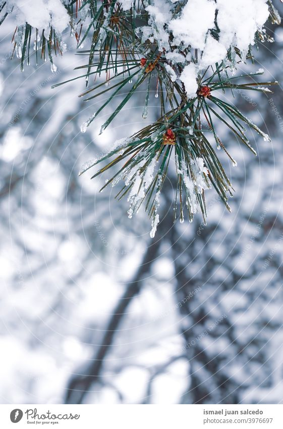 snow on the pine tree leaves in winter season snowfall wintertime cold cold days white frost frosty frozen ice snowy snowflake weather forest mountain nature