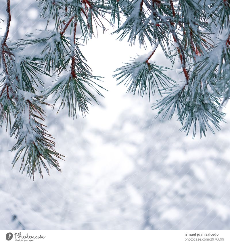 snow on the pine tree leaves in winter season, snowy days pine leaves branches leaf green ice frost frosty frozen white nature textured outdoors background