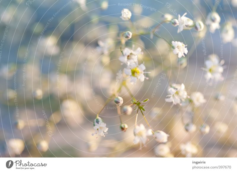 Delicate blossom veil Gardening Flower Plant Blossom Baby's-breath gypsum herb Blossoming Fragrance Small Beautiful Blue Yellow White Moody Life Nature Fine