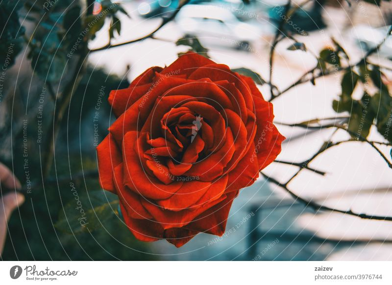 Macro of an open red rose flower blossom flourished flowered ornamental gardens cut flowers commercial perfume edible vitamin blooming petals leaves green