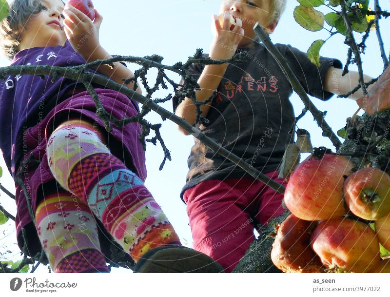 apple harvest Apple tree apples Infancy Eating Nature Climbing reap To enjoy Tights variegated Worm's-eye view Fruit Colour photo Exterior shot Tree Garden