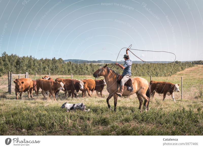 Rider swings the lasso to catch a cow Nature fauna flora Grass way Plant Farm animal Willow tree Agriculture Fence Horizon Summer Sky graze Cow Herd cattle