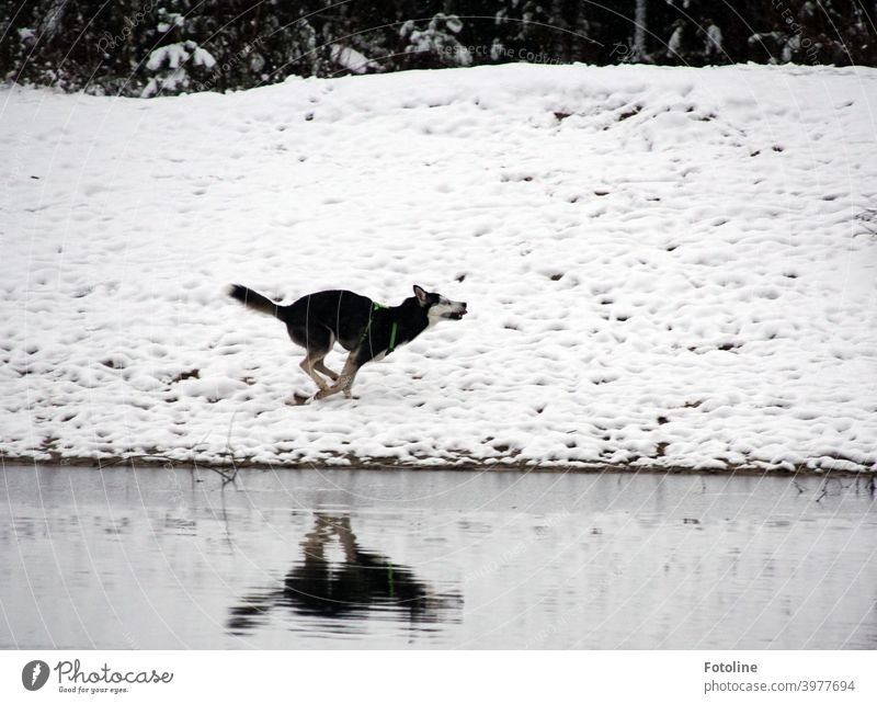 irrepressible joy - Alice is a husky girl who experiences snow for the first time in her life. Exuberantly she romps through the snow at the water. Husky Dog
