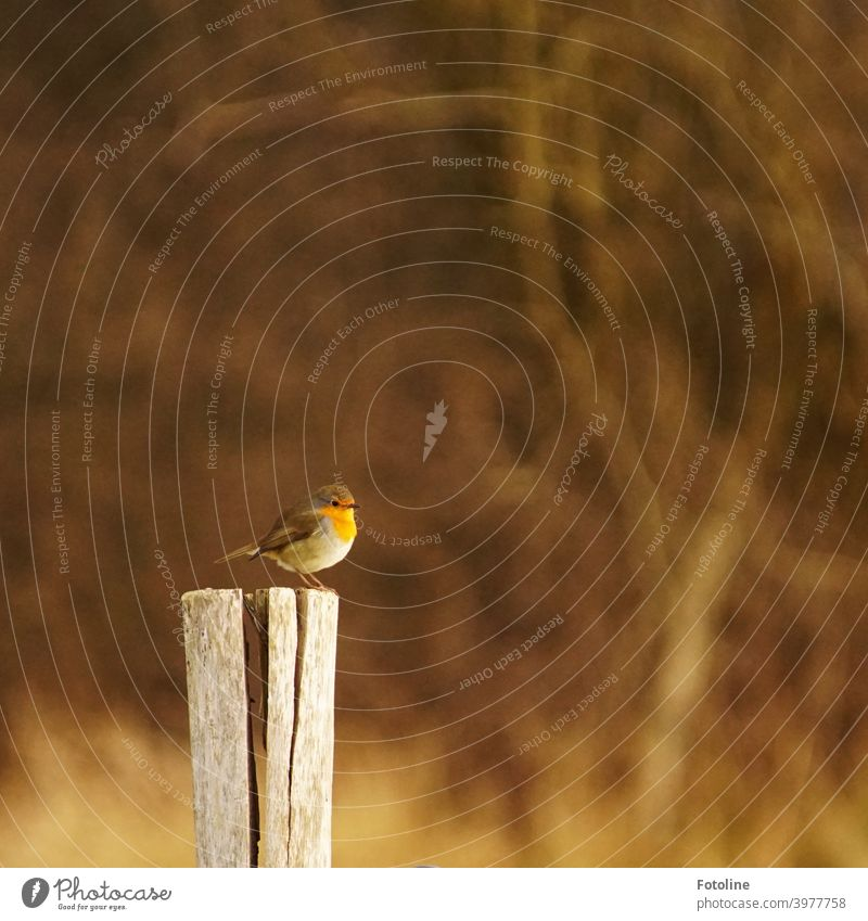 A cute little robin sits fluffed up on a pillar in the dreary snowless winter. Robin redbreast Bird Animal Exterior shot Nature Colour photo 1 Deserted Day