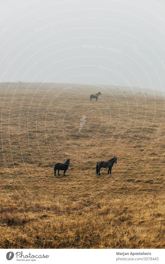 Horses on a misty meadow animal animals autumn beautiful beauty black brown calm countryside dawn domestic farm farmland field fog foggy grass haze hill horse