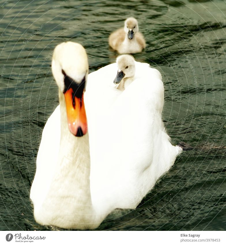 Swan - Taxi , Swan with two chicks... swans Nature Water Exterior shot Landscape Deserted pretty
