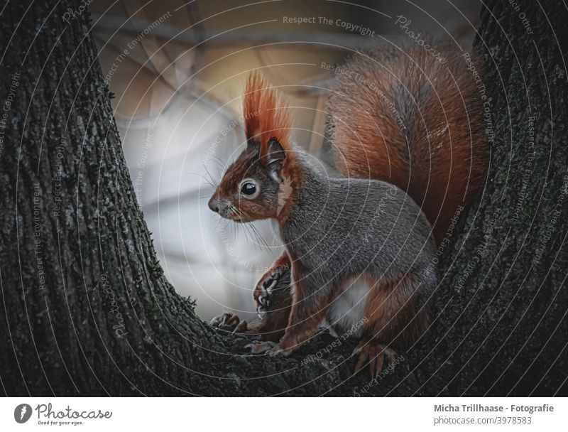 Squirrel in the evening sun sciurus vulgaris Head Animal face Eyes Nose Ear Muzzle Claw Tails Pelt Wild animal Rodent Nature Tree Beautiful weather Sunlight