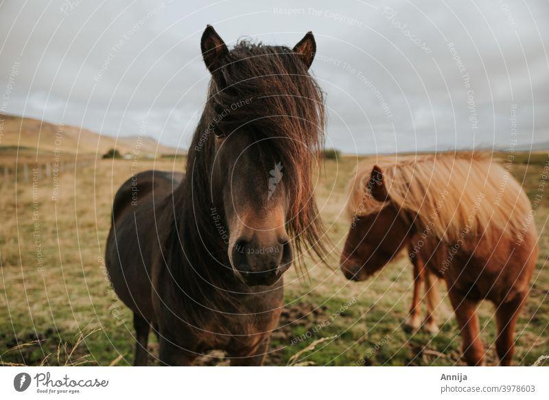 Two wild horses Wild horses iceland horses animal mammal ponies Bangs Iceland Iceland pony Vacation & Travel