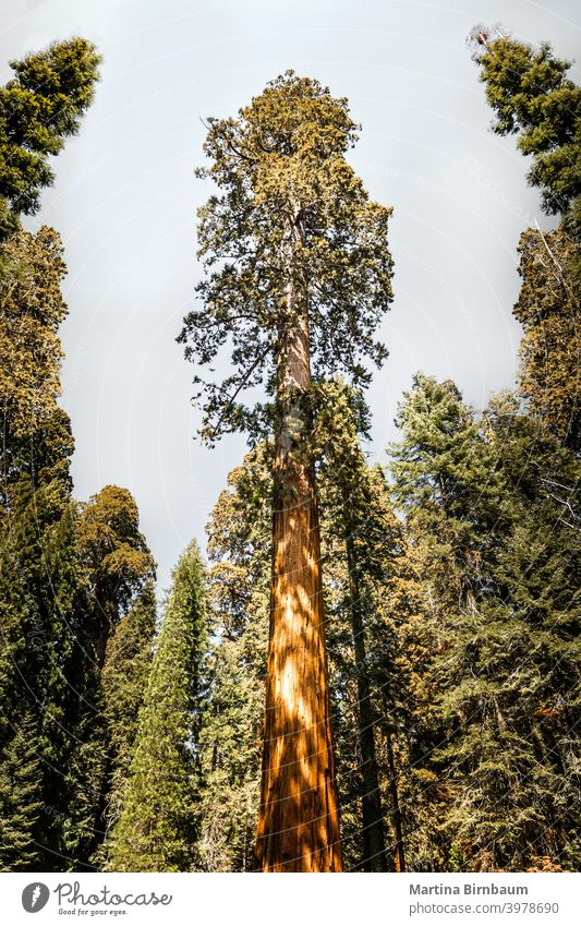 Giant sequoia tree in the Kings Canyon National Park, California travel nature park california national giant usa forest big landscape dawn yosemite massive
