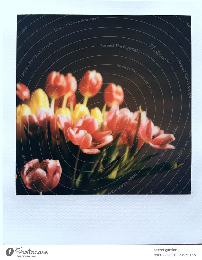 Analogue flowering. Polaroid tulips Tulip Tulip blossom Spring Spring fever at home Flower Blossom Blossoming Plant Colour photo Deserted Close-up Bouquet