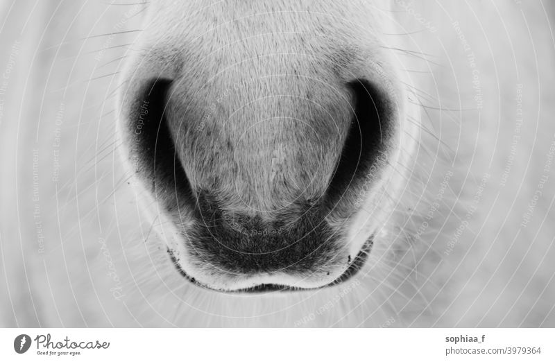 Breath - closeup of horse nostrils, black and white Photo breathe nose detail breathing close up horse nostrils gently mouth muzzle friend friendly grey horses