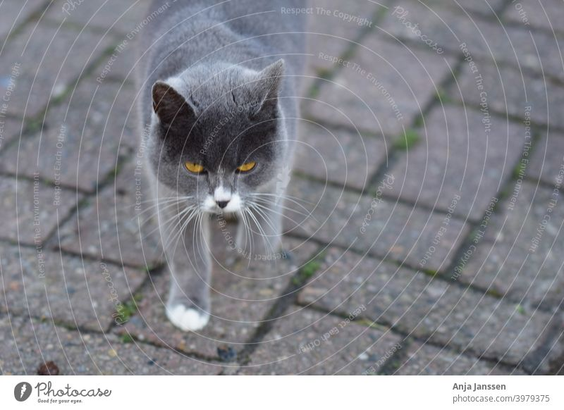 Front view of a grey cat against a grey background head front view close up closeup ear eye eyes animal fur animal hair whiskers cat mammal pet