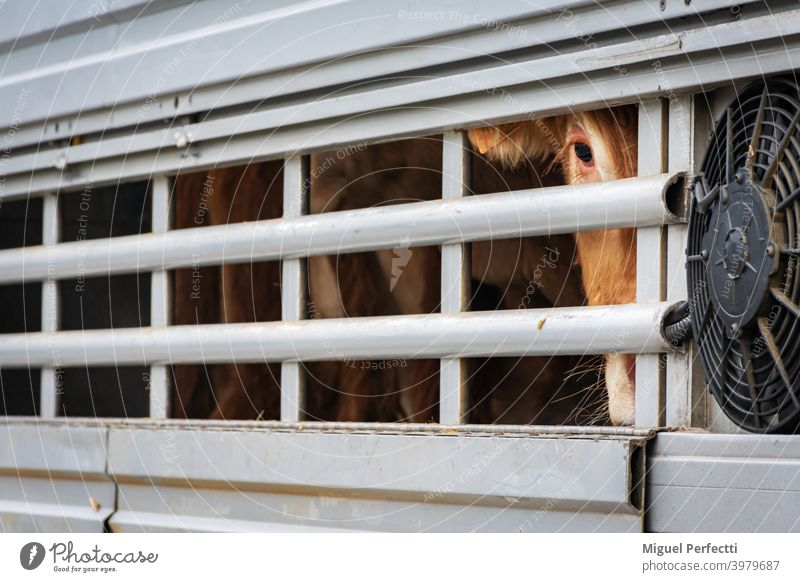 Veal peeking out of aeration windows in a cattle truck. veal cage animal transport cow livestock eye brown cattle transport meat industry mammals animals