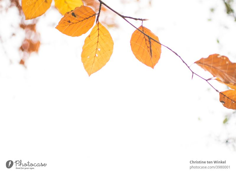 Orange autumn leaves on a thin branch. View upwards against the white sky. Frog perspective. Autumnal colours coloured leaves Autumn leaves Delicate