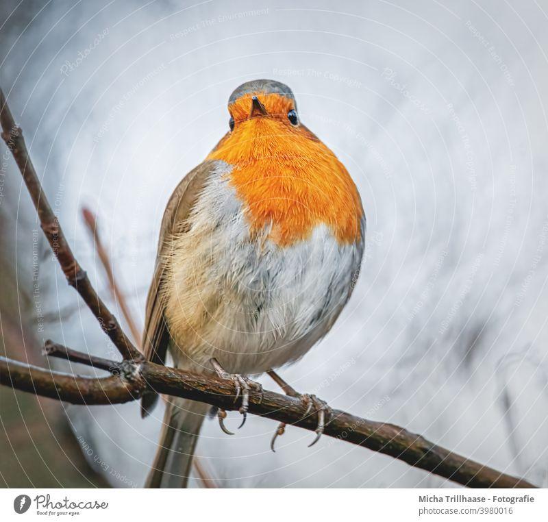 Robin portrait Robin redbreast Erithacus rubecula Animal face Head Eyes Beak feathers plumage Legs Claw Grand piano Twigs and branches Bird Wild bird