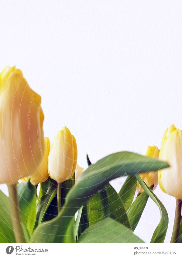 Yellow tulips Tulip Spring leaves blossoms Flower Blossom Green Plant Nature Bouquet pretty Colour photo Close-up Decoration Blossoming Copy Space top Easter
