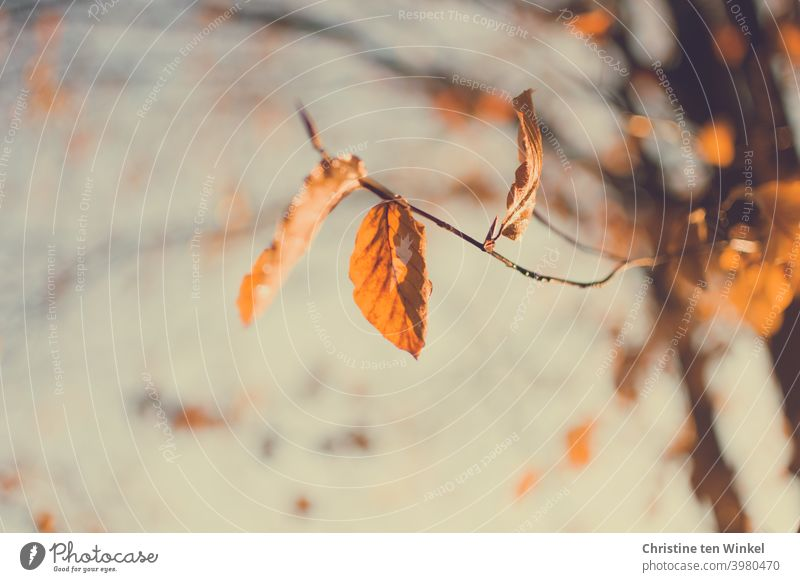 The last orange autumn leaves on the tree are lit by the sun Autumnal colours coloured leaves Autumn leaves Delicate Twigs and branches twigs Upward Sky Nature
