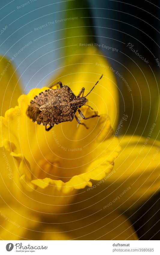 Macro shot of a beetle crawling on yellow daffodil Small Insect Plant Animal Nature Garden Shell Spring Flower Beetle 1 Yellow Blossom Blossoming Crawl