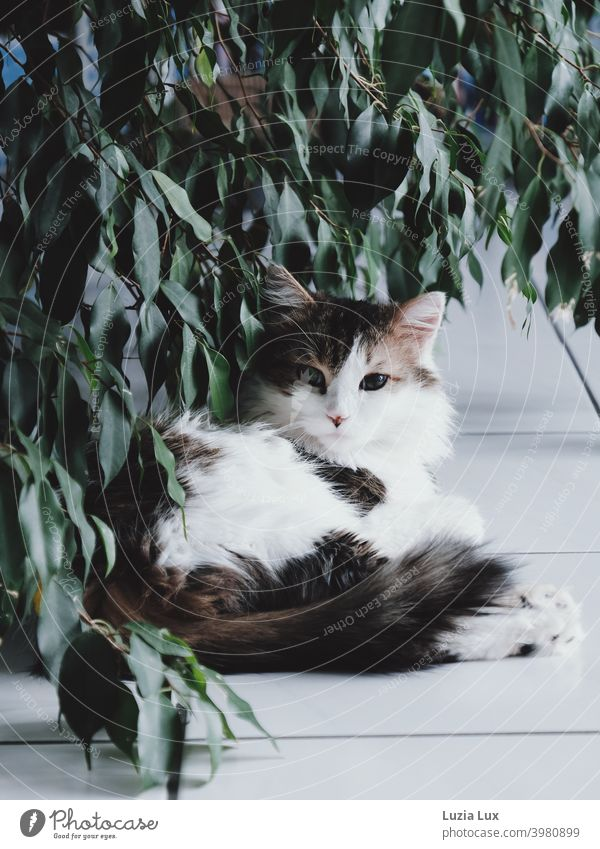 a long-haired, tabby cat lies under overhanging foliage and looks suspiciously into the camera hangover Cat Long-haired White mackerelled Domestic cat reclining