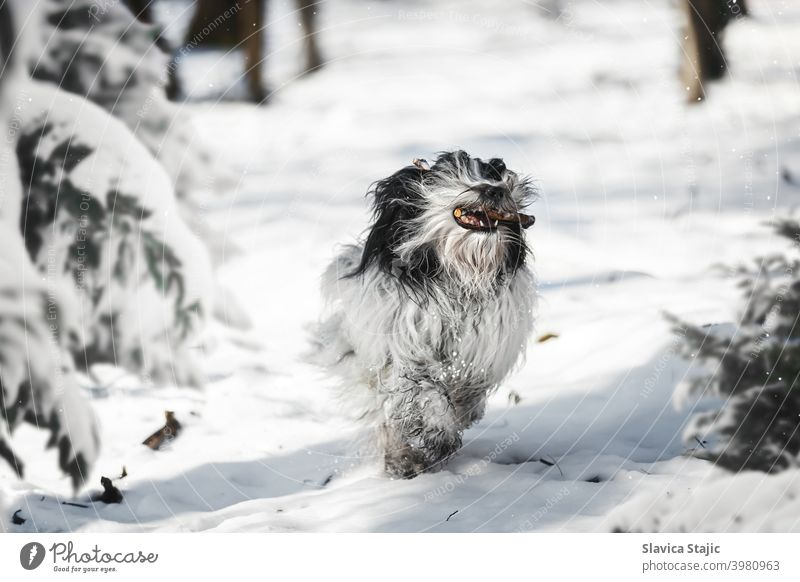 Tibetan terrier dog  running running with stick in mouth between trees in winter forest tibetan pet snow pine day white copy space animal Mouth open active